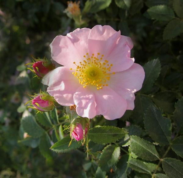 majska ruža
